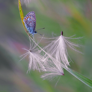 - podvečerná motýlia sanica