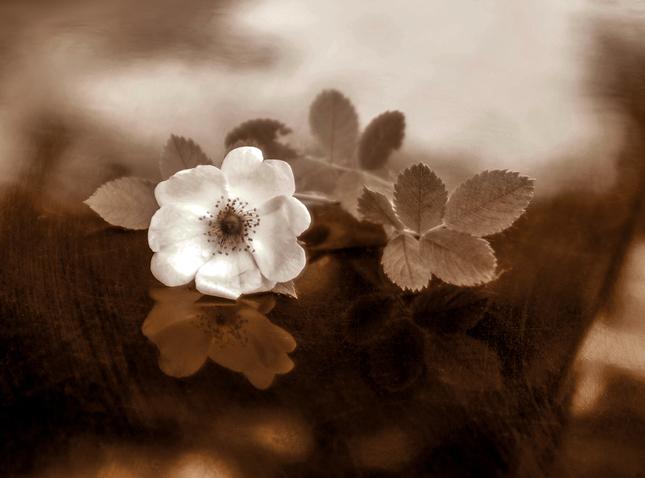 ... šípková ruža ...
