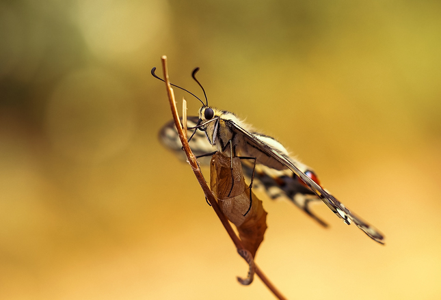 ... imágo - Papilio machaon ...
