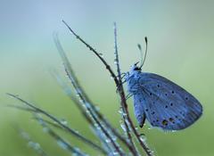 ... modráčik z rána ...