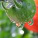 ... paradajky v kvapkách ...