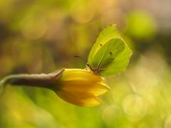 ... žltá chiméra ...