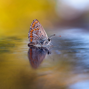 ... motýlia Majka z Gurunu ...