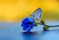... modráčik ...