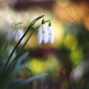 ... zvoniac príchodu jari