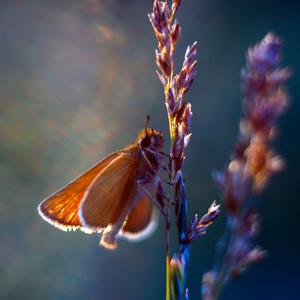 ... laskotanie krídiel ...