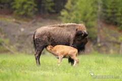 Bison bison (zubor americký)