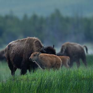 Bison bison (bizón prériový)