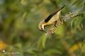 Cinnyris asiaticus