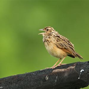 Mirafra affinis