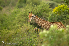 Giraffa giraffa