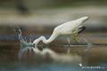 Egretta dimorpha