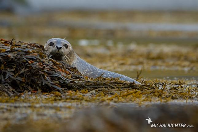 Phoca vitulina (tuleň obyčajný)