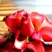 Umierajúce ruža