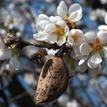 Kvitnúca mandla