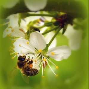Včela na slivke
