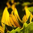 Prežiarená slnečnica