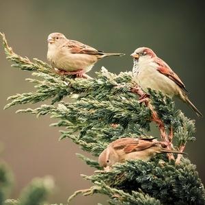 Vrabčiaky