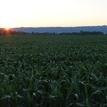 Kukuričné pole pri západe slnka