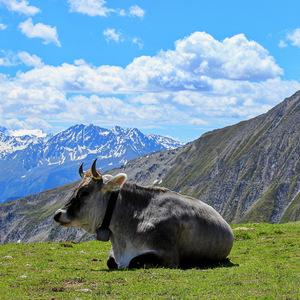 Rakúska Milka pri sieste