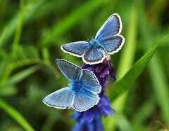 modráčiky