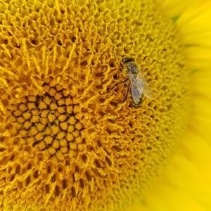 Včela na slnečnici