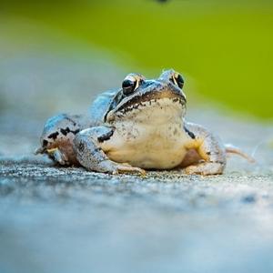 Žabka na múriku