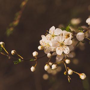čoskoro budú kvitnúť všetky