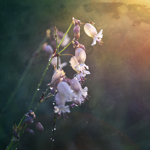 klobúčnikov kvet