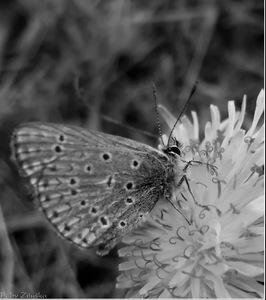 motýľ ....