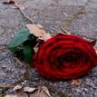ruža na ceste :)