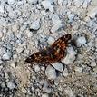Motýl..