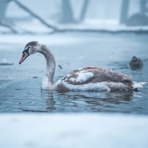 Zimná labuť