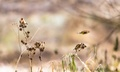 Stehlík pestrý