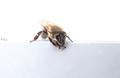 ospalá včela