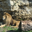 Lev - kráľ zvierat