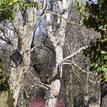 100 ročný strom