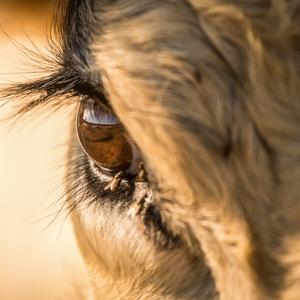 býčie oko
