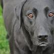 Čierny labrador
