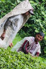 Zberači čaju