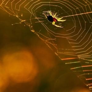 spidersiet