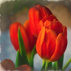 tuli-tuli-tulipán