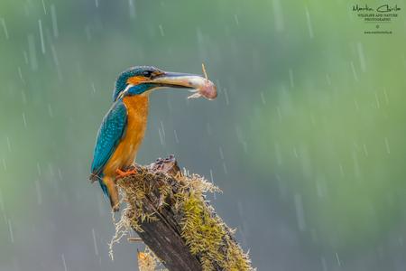Rybárik riečny - drahokam našich vôd.