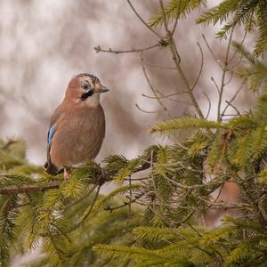 Lesný pozorovateľ