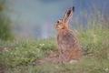 Zajac romantik :)