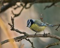 sýkorka belasá - Parus caeruleus