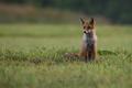 Líška hrdzavá / Vulpes vulpes
