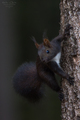 Veverica obyčajná