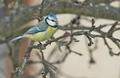 Parus caeruleus - sýkorka belasá