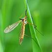 komar velký
